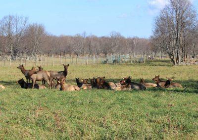 Regal Point Elk Herd in Field